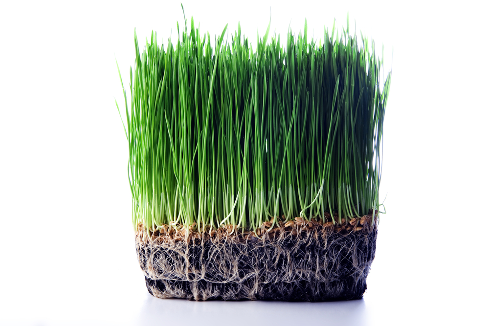 Grass growing in soil on a plain white background